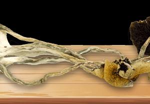 Wavy Z Magic Mushrooms