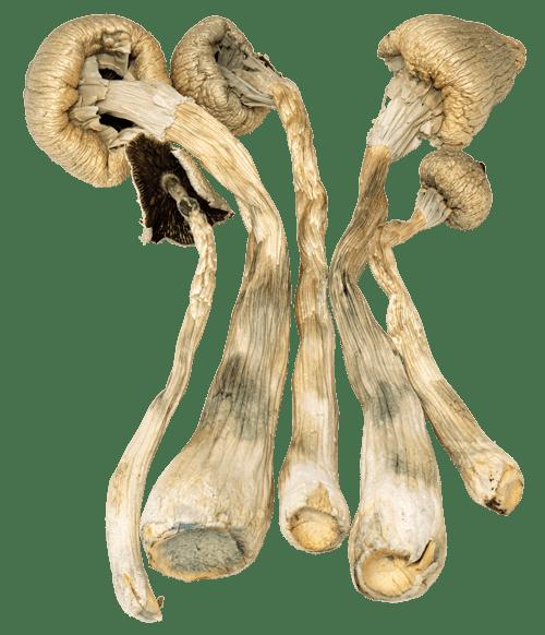Psilocybin and Microdose Guide